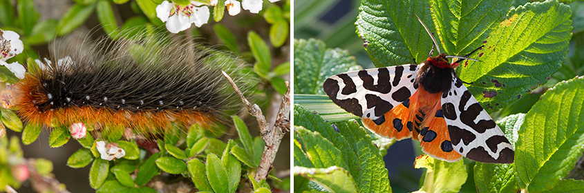 Garden Tiger caterpillar and moth