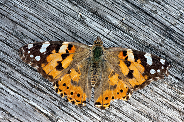 Painted Lady Butterfly an early spring arrival – photograph by Robin Sutton
