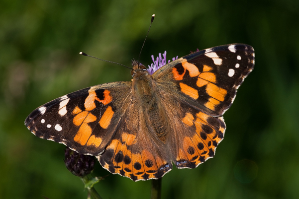a late summer Painted Lady prior to migration south – photograph by Robin Sutton