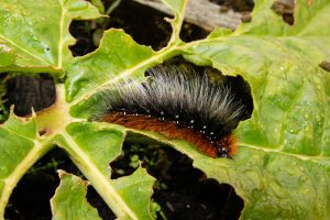 Gardern Tiger caterpillar on Rhubarb