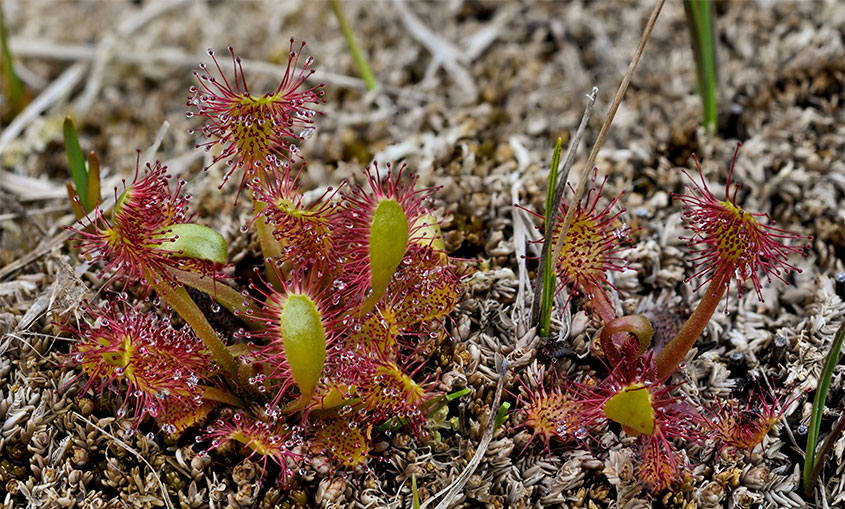 Greater Sundew