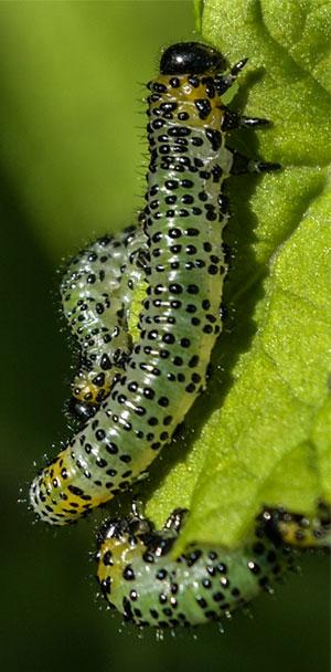 Gooseberry Sawfly (Euura ribesii)