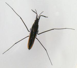 Pondskater Gerris thoracicus